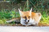 Alberese (gr), Italy, Fox Close Up In The Maremma Country In Tuscany, Italy poster