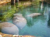 Huge Manatees (sea Cows), Swimming Gracefully Eating Grass. poster