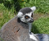 Ring Tailed Lemur (portrait), Sitting In Enclosure poster