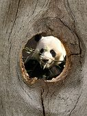 Panda Zoo Animal In Fence Knot Hole poster