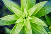 Asiatic Lily Young Leaves. View From Above. poster