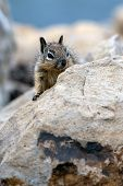 Furry Juvenile Ground Squirrel Peeking Over The Top Of The Safey Of The Rocks. poster
