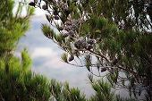 Pine Trees With Cones Against The Blue Sky. Brown Cones On Pine Or Black Pine. Beautiful Long Needle poster