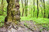 Burls On Oak Tree Trunk In Spring Day. Tree Trunk Looks Like A Fairytale Creature poster