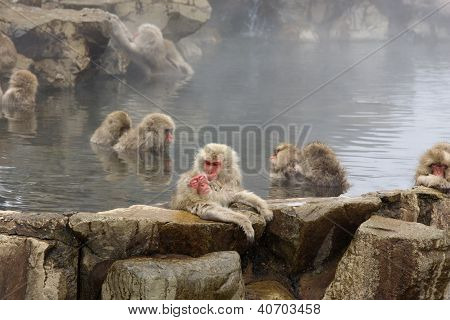 Japanese Snow Monkeys Grooming In Hot Pool