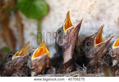 Bird Nest With Young Birds - Eurasian Blackbird