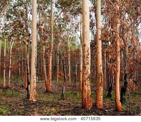 Australian Eucalyptus Gumtree Forest After Bushfire