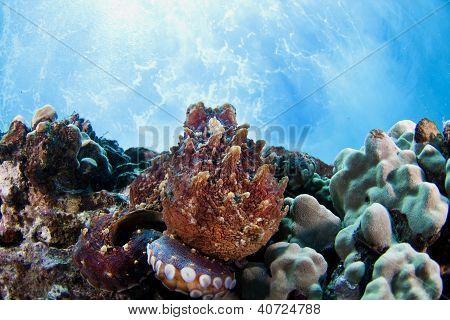 Octopus on reef