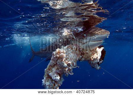 Tiger shark chomp