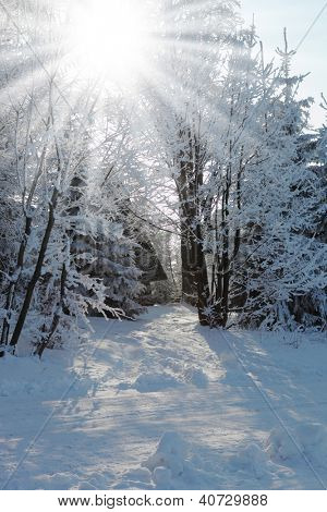 Christmas morning. Snowy winter forest and knurled wide trails.