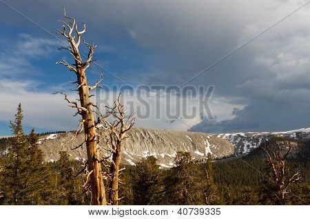 Dead Pine Tree In The Sierra Nevada