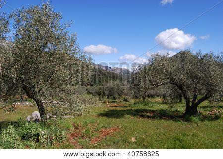 Olive grove near Marbella, Andalusia, Spain.