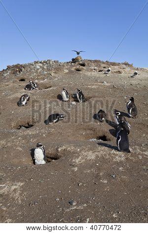Group Of Magellanic Penguins At Magdalena Island