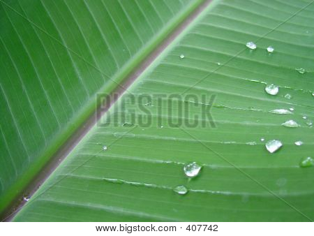 Banana Plant Leaf With Dew Drops