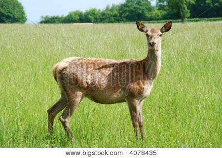 Young Doe Looking Straight On In Green Field In Springtime