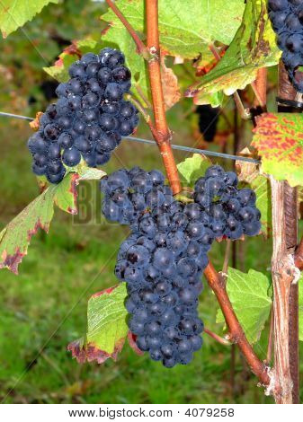 French Grapes Pinot Noir In Alsace