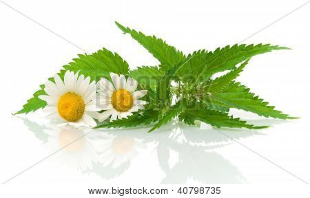Chamomile Flowers And Nettle Leaves On A White Background