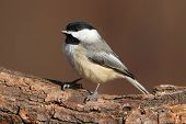 stock photo of chickadee  - Carolina Chickadee  - JPG