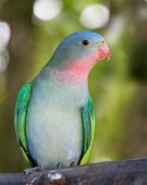 foto of parakeet  - a portrait of a princess parakeet in profile - JPG