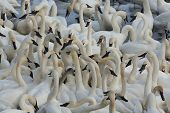 image of trumpeter swan  - A large flock of feeding trumpeter swans - JPG