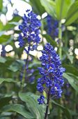 stock photo of blue-salvia  - Beautiful Blue Salvia in nature close up - JPG