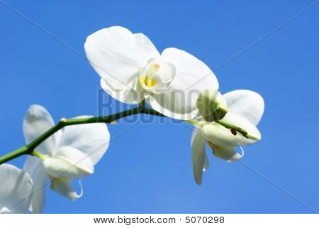White Orchid, Blue Sky.