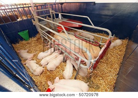 Piglets With Sow