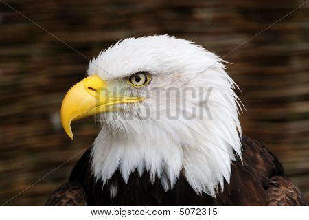 Golden Eagle Head