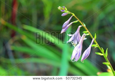 Hosta Flower Closeup