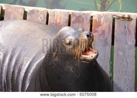 California Sea Lion, Barking With Open Mouth