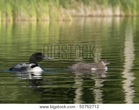Loon and It's Young