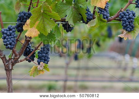 Pinot Noir Grape Border