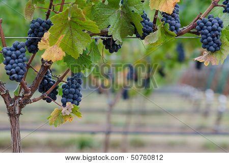 Pinot Noir Grape Border