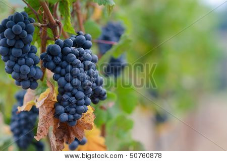 Pinot Noir Grape Background