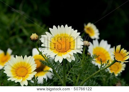 Oxeye daisy, Chrysanthemum leucanthemum. Wildflower and a herb frowiing in meadows and fields.