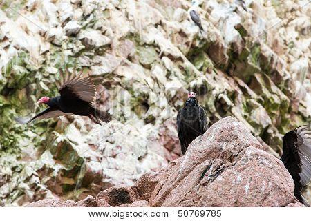 Vulture Red Neck Birds In Ballestas Islands.peru.south America. National Park Paracas.  Flora And Fa