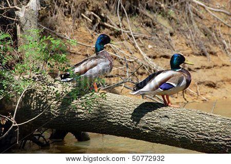 mallards on a log