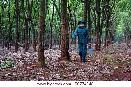 Worker collecting  latex rubber  at rubber plantation