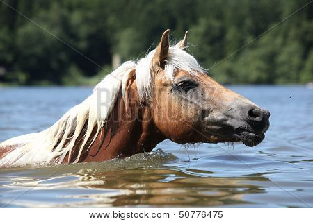 Blond Haflinger Swimming In The Water