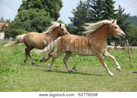 Two Haflingers Running On Pasturage