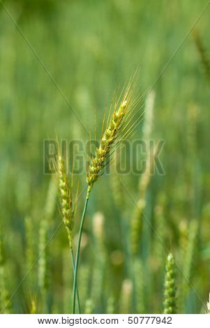 Ear Of Wheat