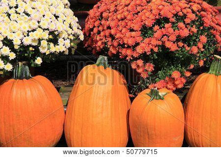 Four big orange pumpkins and hardy mums