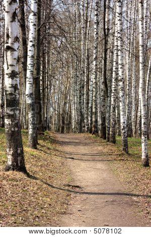 Path In A Birchwood