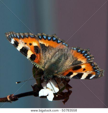 Small Tortoiseshell (Aglais urticae)