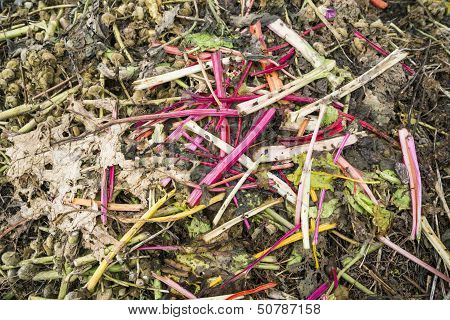 Pieplant Stems on a Compost Heap