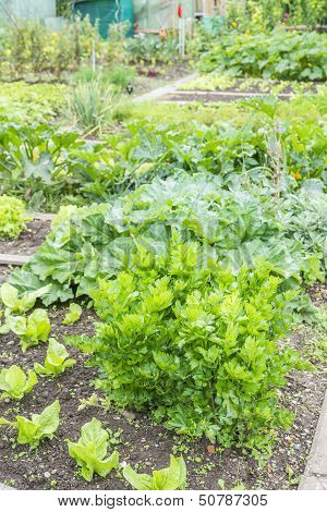 Lovage in a Vegetable Garden