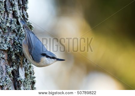 Nuthatch (Sitta Europaea), In The Classical Position