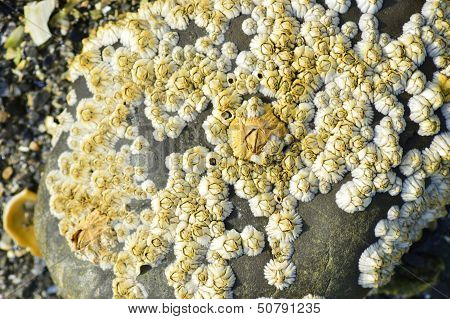 Barnacles on a Rock