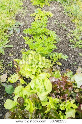 Lettuce on a Vegetable Garden Ground
