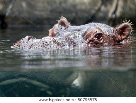 Hippopotamus swimming